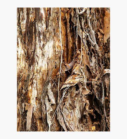Paper Bark Tree Photographic Print
