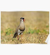 Plover Talk - Funny Nature and Entertaining Wildlife Poster