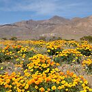 El Paso Poppies by jcmeyer