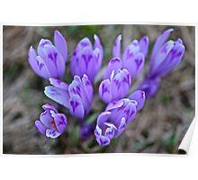 Crocus sativus .  Krowiarki pass . Gorce Mountains.Poland. 1348 views. Thank you so much !!!! by Brown Sugar ! Poster