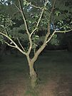 Lone Dogwood Tree by Ginny York