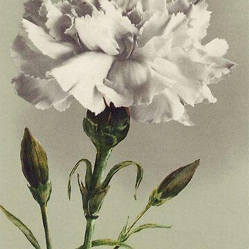 Vintage White Carnation by chalicevvinter