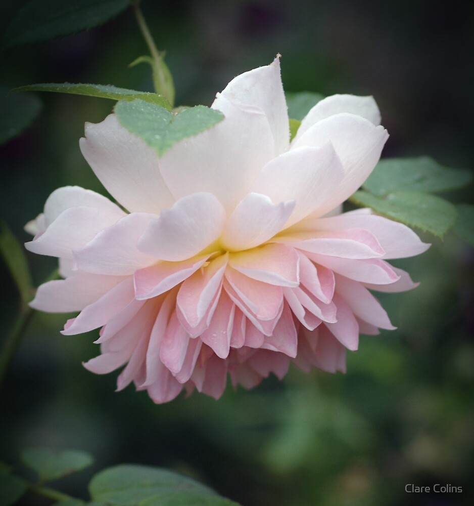 A beautiful little rose by Clare Colins