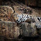 Jaguar Nap by Bob Hardy