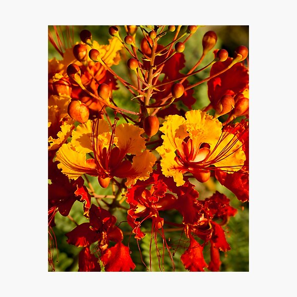 Mexican Bird of Paradise Photographic Print