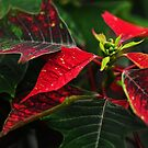 Dare to be different _Poinsettia by Poete100
