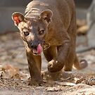 Prowling fosa by Anthony Brewer