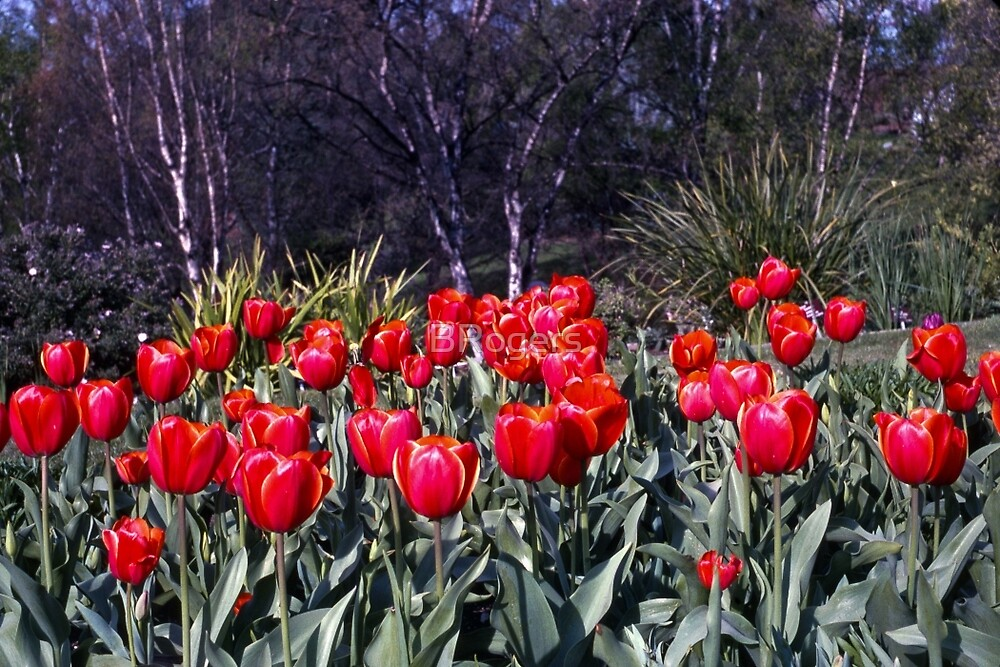 Spring—Royal Tasmanian Botanical Gardens by BRogers