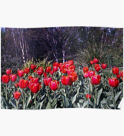 Spring—Royal Tasmanian Botanical Gardens Poster