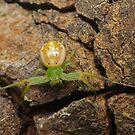 Flower spider - Lehtinelagia prasina by Andrew Trevor-Jones