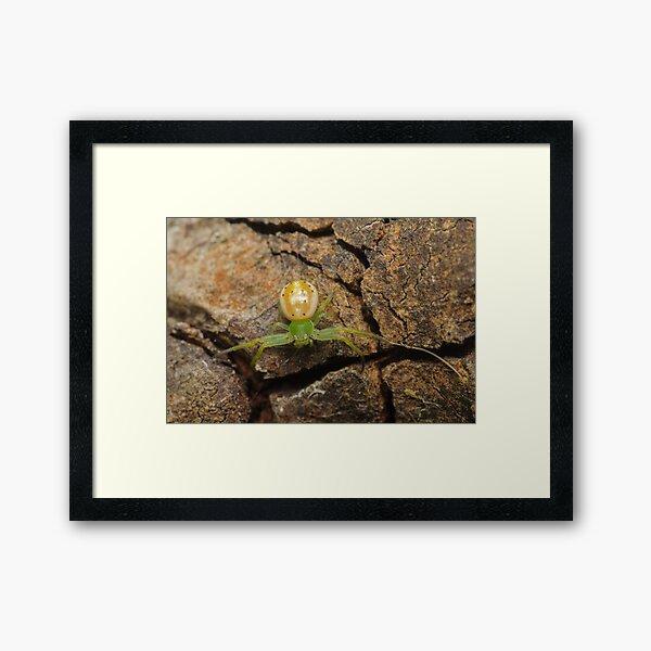 Flower spider - Lehtinelagia prasina Framed Art Print