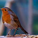 robin by Doug McRae