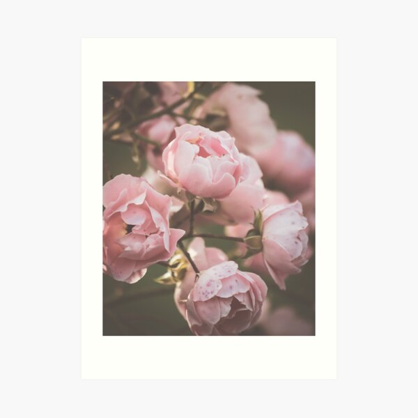Dusty moody pink Roses Art Print