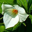 Trillium by WildThingPhotos