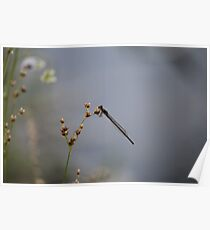 Black Damselfly Poster