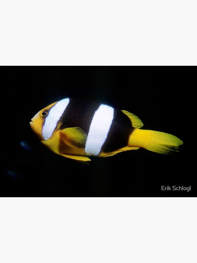 Clark's Anemonefish by eschlogl