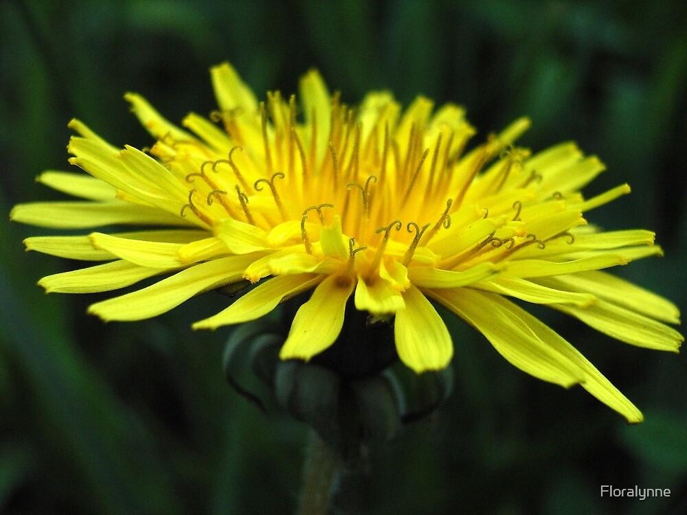 dandelion X by Floralynne