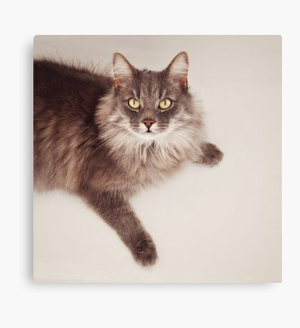 Semi long haired english blue male cat Canvas Print