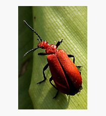 Soldier Beetle Photographic Print
