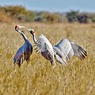 BROLGA DISPUTE by Raoul Madden