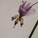 Forest Find - Arthropodium Milleflorum (Pale Vanilla Lily) by Meg Hart