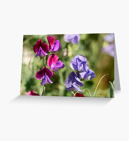Sweetpeas for Spring Greeting Card