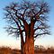 BAOBAB TREES in AFRICA / KREMETARTBOME in AFRIKA