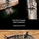 Pine Tussuck Moth Caterpillar by DigitallyStill