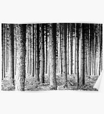 Pine Forest Poster