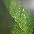 Sunstruck Leaf by lollylocket