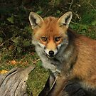 Beautiful Red Fox  by Dorothy Thomson