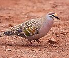 Common Bronzewing by Robert Elliott