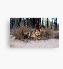 Watchful Dingoes Canvas Print