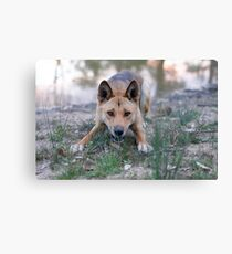 Playful Dingo Canvas Print