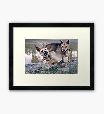 Playful Dingoes Framed Print