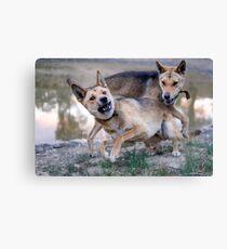 Playful Dingoes Canvas Print