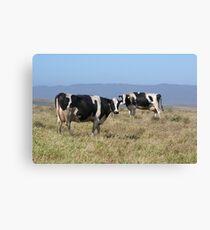 Holsteins Cows Canvas Print