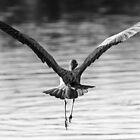 Graceful Heron by Mick Kupresanin
