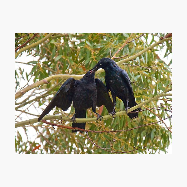 RAVEN ~ Forest Raven B9HP8BMN by David Irwin ~ WO Photographic Print