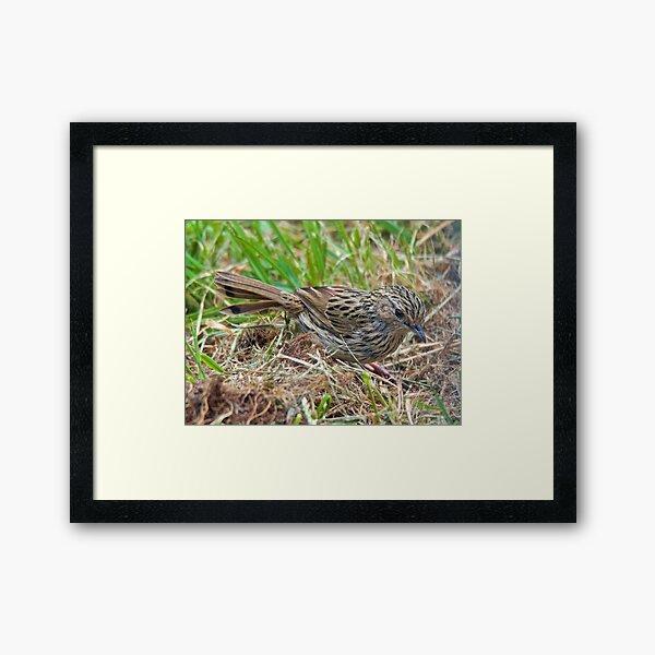 WREN ~ Striated Fieldwren bb2JKFVP by David Irwin ~ WO Framed Art Print