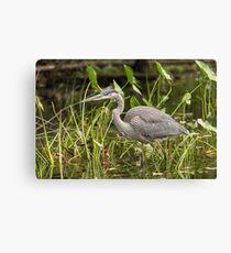 Great Blue Heron - Mud Lake, Ottawa, Canada Canvas Print