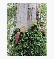 Fern-clothed Australian Gum trunk Photographic Print