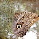 Caligo eurilochus by Astrid Ewing Photography