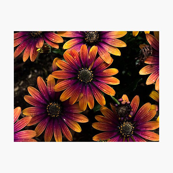colorful summer flowers with raindrops Photographic Print