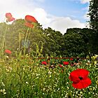 Sun kissed poppies by ScenicViewPics
