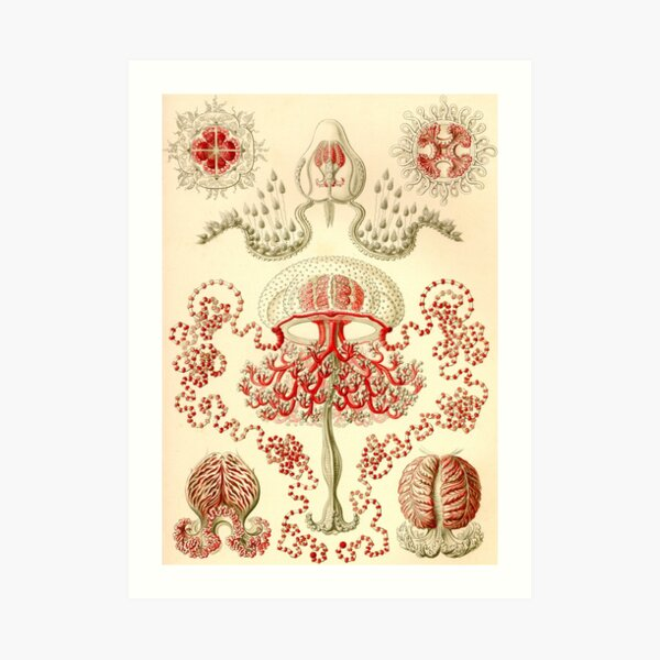 Anthomedusae - Ernst Haeckel Art Print