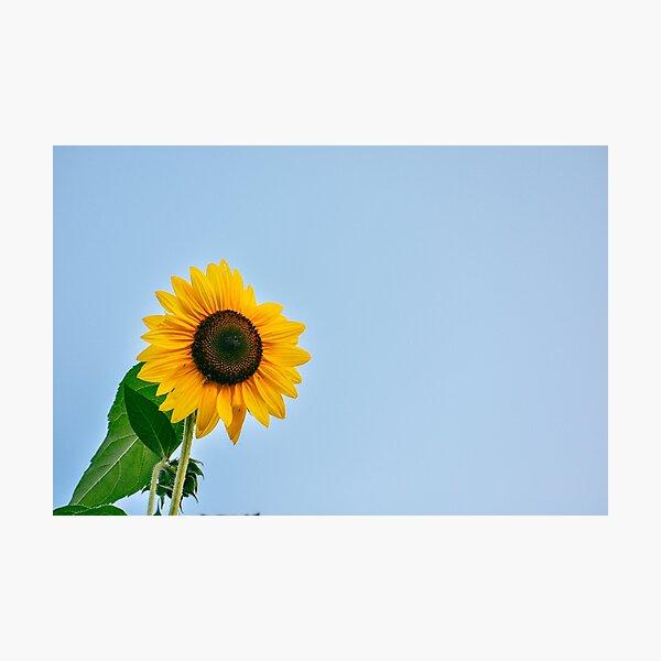 Shine Bright Sunflower Photographic Print