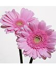Pink Chrysanthemum flower by David Rankin