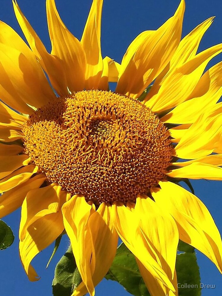 Sunflower and Blue Sky by colgdrew