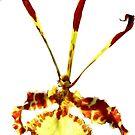 Psychopsis Mendenhall Hildos Orchid by Susan Savad